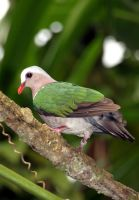 Green-winged dove by Stinetroll