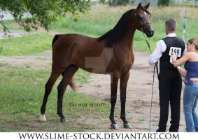bay arabian 3/4 halter stand by slime-stock