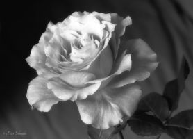 Beauty (MONOCROM). by Phototubby