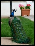 Peacock by jevigar