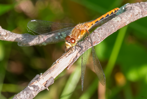 Elm Creek Dragonfly by sequential
