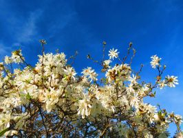 White Blossoms, Blue Sky (2) by Michies-Photographyy