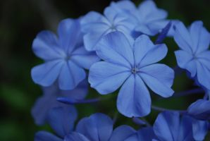 Blue Flowers by SarahCatherinez