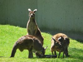 Wallaby 01 by Unseelie-Stock