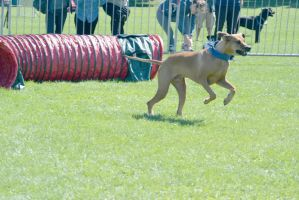 2014 Dog Festival, Agility Contest 2 by Miss-Tbones