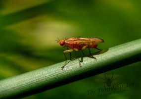 Yellow Dung Fly - Scathophagidae by TheFunnySpider