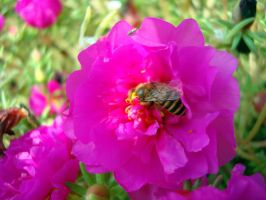 honey bee on a pink flower by ss03101991