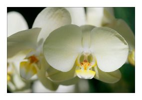 FMG Orchid 2 by badman22
