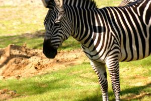 White With Black Stripes by morphinetears36