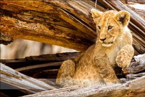 Marsh Pride Cub on Log by MrStickman
