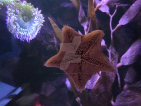 Sea Star in the Aquarium by Inuyashaslove