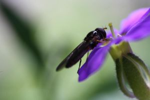Hoverfly by DCooper20