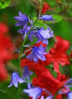 colorful flowers in red and purple by mkuegler