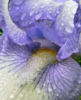 Blue and White Iris by sherln
