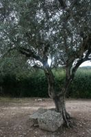 Olive Tree by RaeyenIrael-Stock