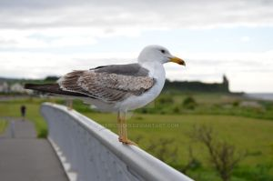 Seagull by MairStudio