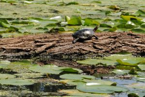 Turtle on A Log by marlirae