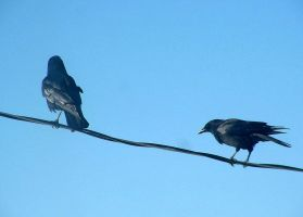 Ravens on a Wire by JocelyneR