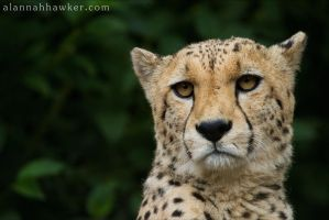 Cheetah 11 by Alannah-Hawker