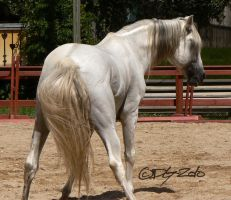 Andalusian Stallion - 55 by ElaineSeleneStock