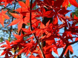 Japanese Maple 10 by crazygardener