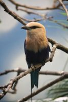 Blue Bellied Roller by MegMarcinkus
