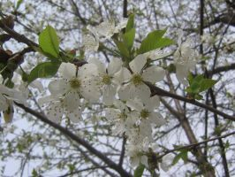 apple blossom 01 by CotyStock