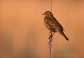 Red-winged blackbird female by Nature-Photo-Master