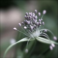 Pastel Flower - Allium by webworm