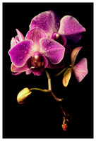 purple orchids by sarianna-v