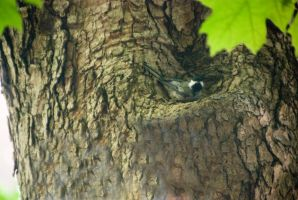 Chickadee In the Tree, Resting In the Nook 2 by Miss-Tbones