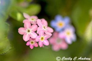 Pink Forget Me Not by CecilyAndreuArtwork