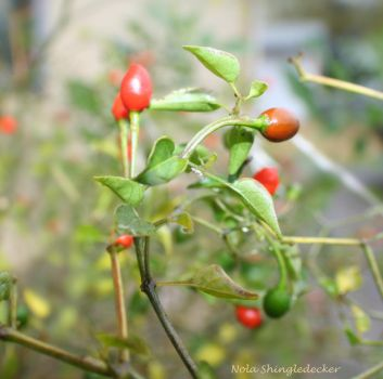 Rain-Kissed Chili Pequins by Nolamom3507