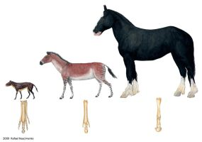 Equid Comparison by RSNascimento
