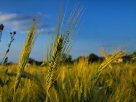 Just ready for harvest by goran74