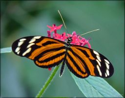 heliconius ismenius - 1 by J-Y-M