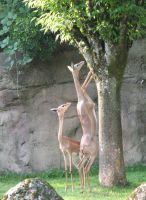 Gerenuk 2 stock by thiselectricheart