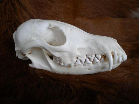 Wild Red Fox Skull Stock by Minotaur-Queen-Stock