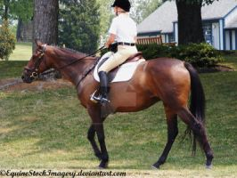 Warmblood 32 by EquineStockImagery