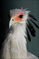 Secretary bird. by Evey-Eyes