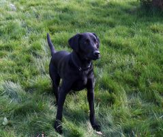 Gun dog at the ready by Scotston