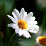 Little marguerite by Alonir