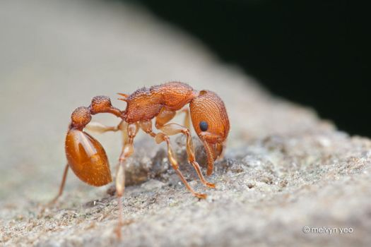 Ant by melvynyeo