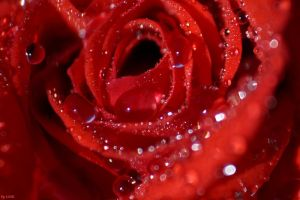 Red Rose by LiGiK