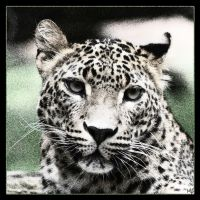 Amur Leopard 3 by Globaludodesign
