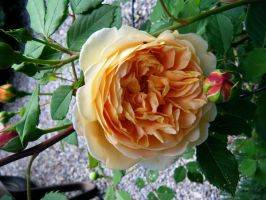 Yellow Rose by Imura-chan