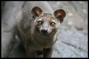 The fossa stare by Lunchi