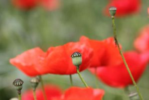 Poppies by JetteReitsma