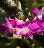 purple orchid by burcyna