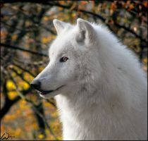 Arctic wolf Atila and his gold by woxys